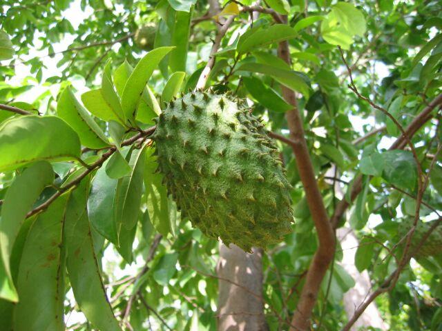 philippine guyabano tree - Google Search | The Philippines ...  |Guyabano Tree