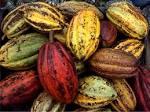 cacaobean